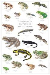 Grenouilles, tritons et salamandres