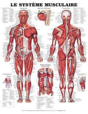 Planche du système musculaire-phu-xuan-2224490594438