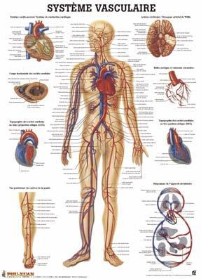 Planche du système vasculaire-phu-xuan-2224490651698