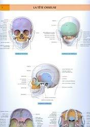 La tête osseuse