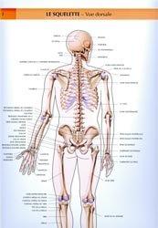 Le squelette. Vue dorsale