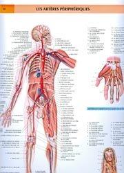 Les artères périphériques