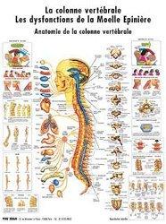 Planche de la colonne vertébrale