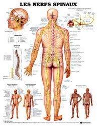 Planche des nerfs spinaux