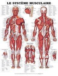 Planche du système musculaire
