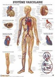 Planche du système vasculaire