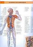 Les veines et les lymphatiques
